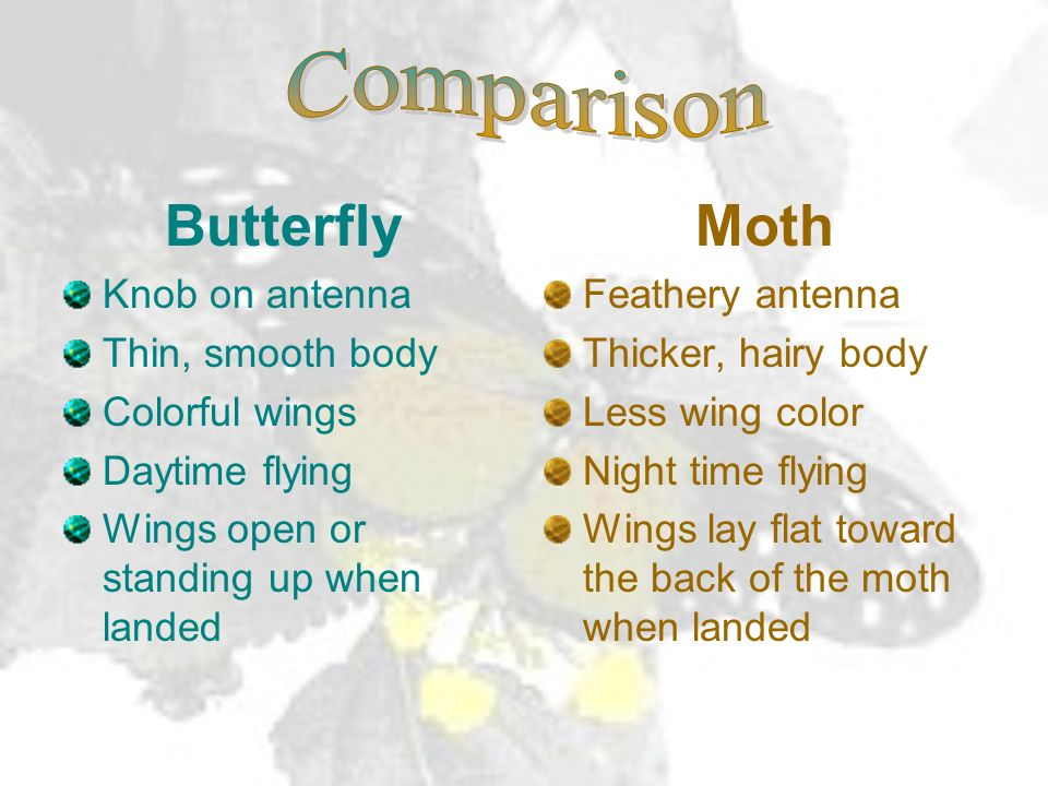 Butterfly Moth Comparison Knob on antenna Thin, smooth body