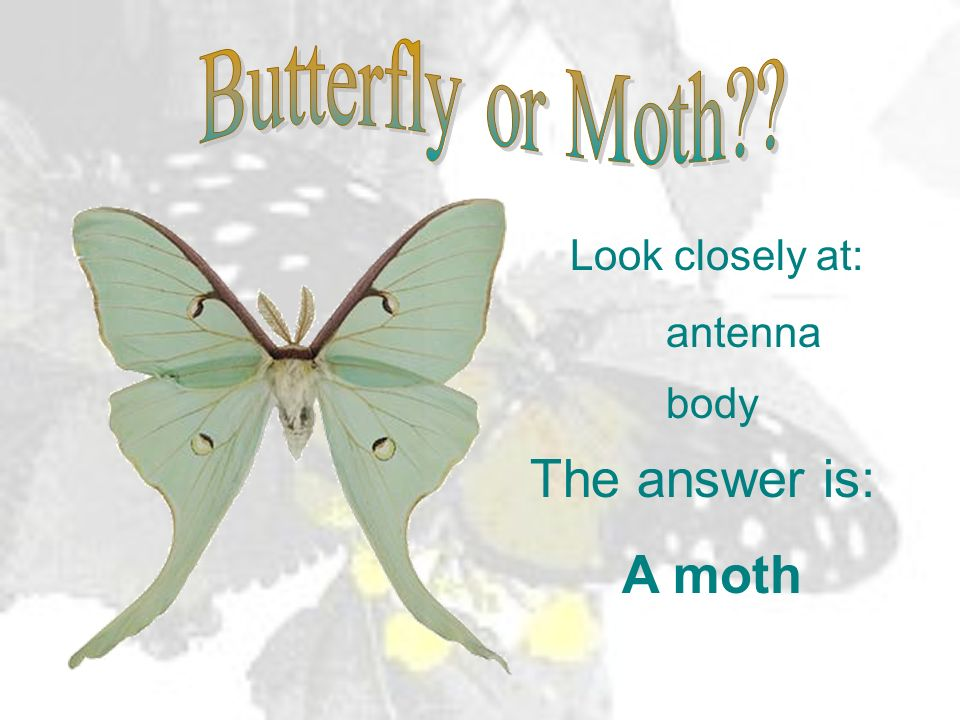 The answer is: A moth Butterfly or Moth Look closely at: antenna