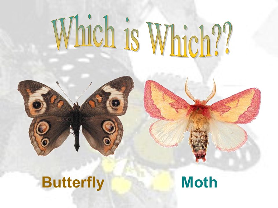 Which is Which Butterfly Moth