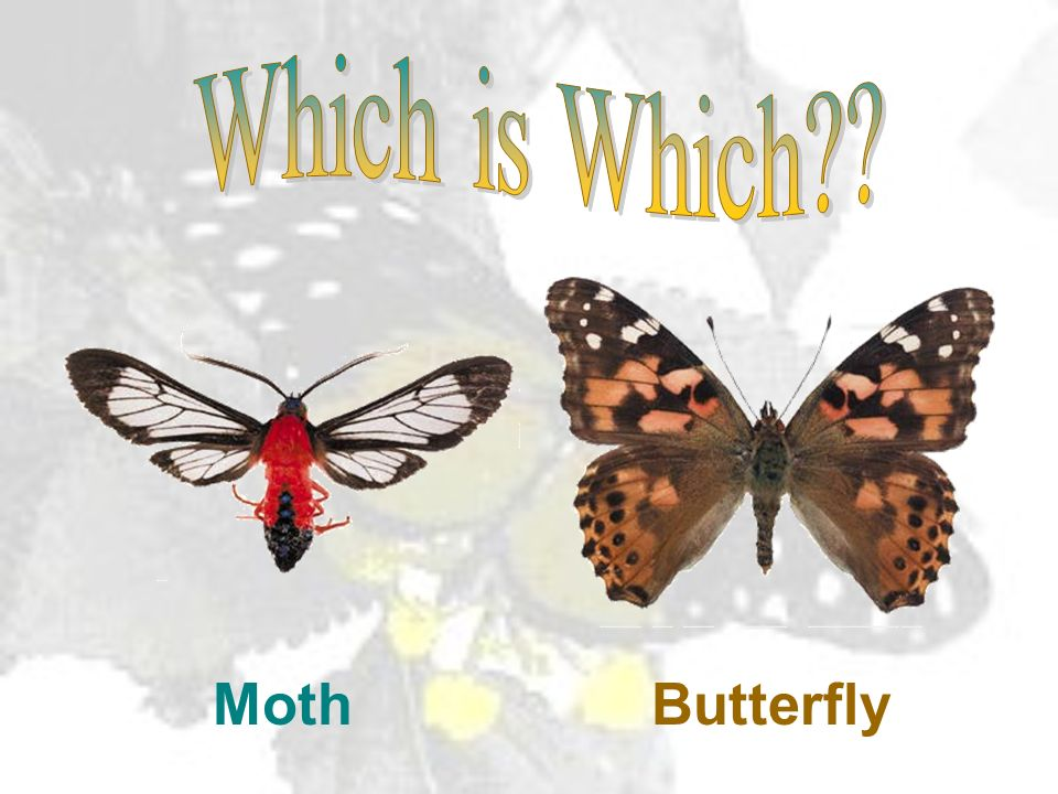Which is Which Moth Butterfly