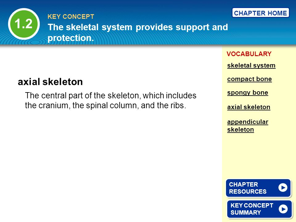 1.2 The skeletal system provides support and protection. skeletal system. axial skeleton. compact bone.