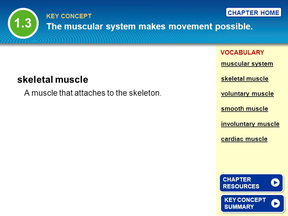 1.3 skeletal muscle The muscular system makes movement possible.