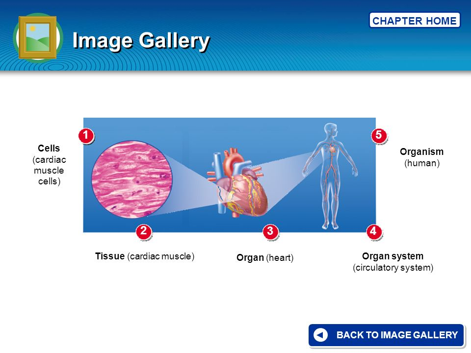 Image Gallery 1 5 2 3 4 CHAPTER HOME Cells (cardiac muscle cells)