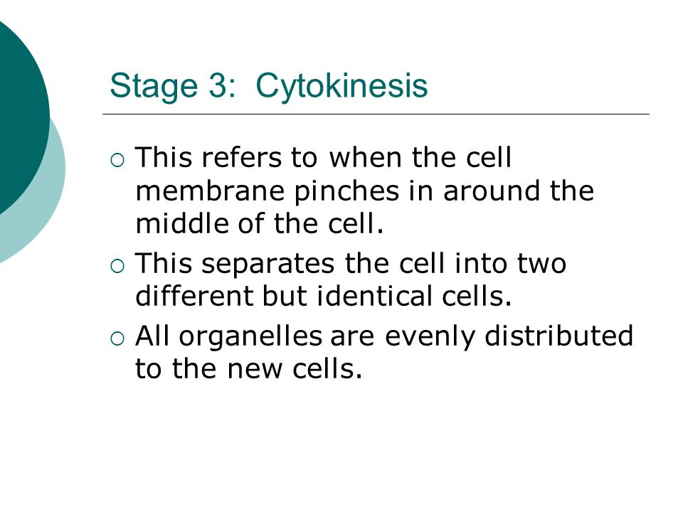 Stage 3: Cytokinesis This refers to when the cell membrane pinches in around the middle of the cell.