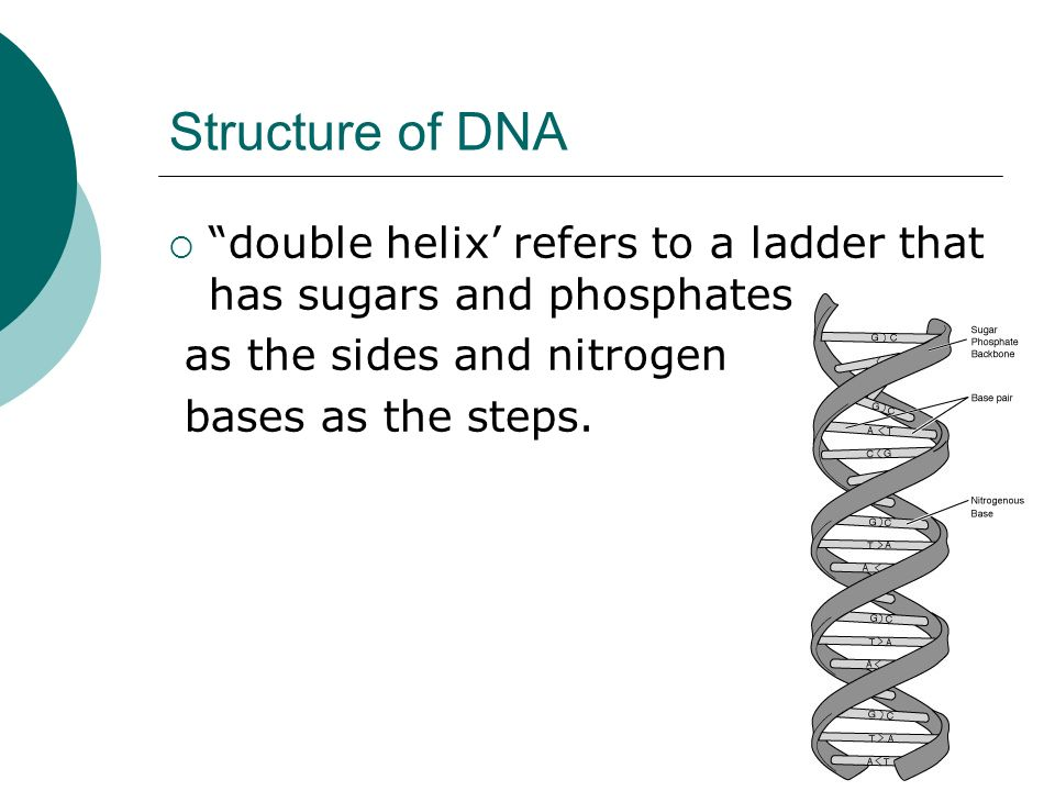 Structure of DNA double helix' refers to a ladder that has sugars and phosphates. as the sides and nitrogen.
