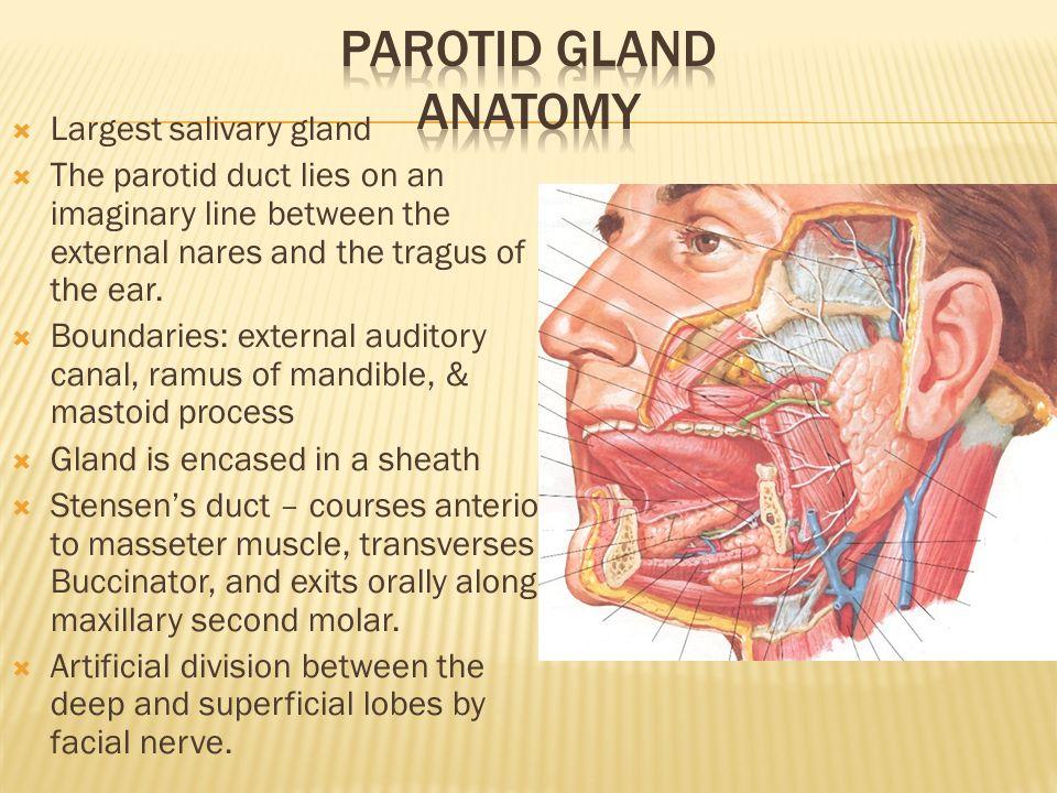Fancy Salivary Gland Anatomy Photos - Human Anatomy Images ...