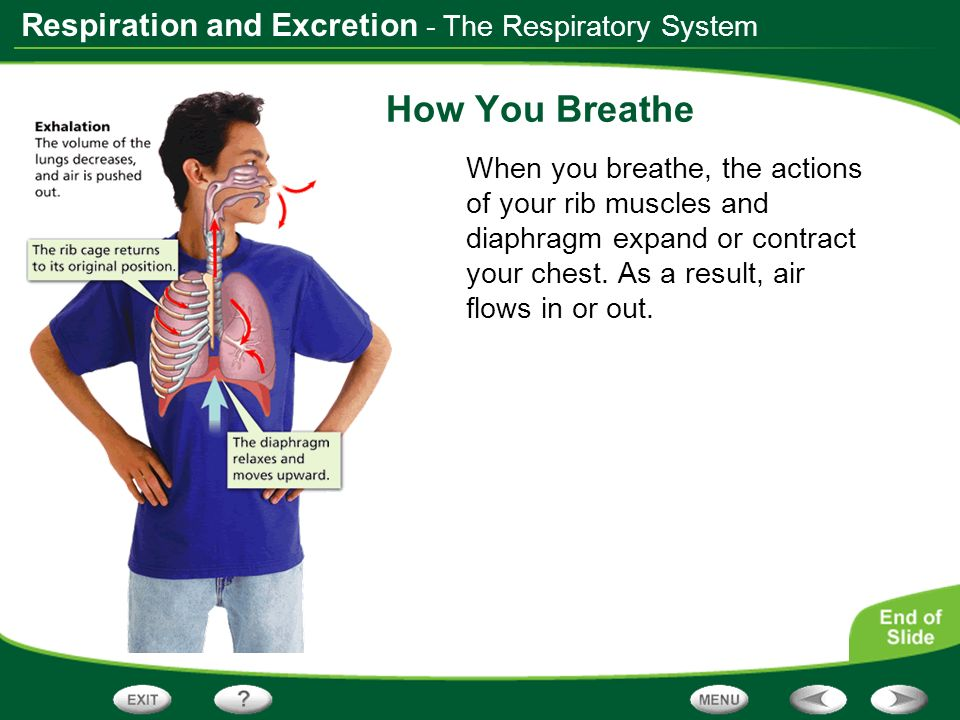 How You Breathe - The Respiratory System