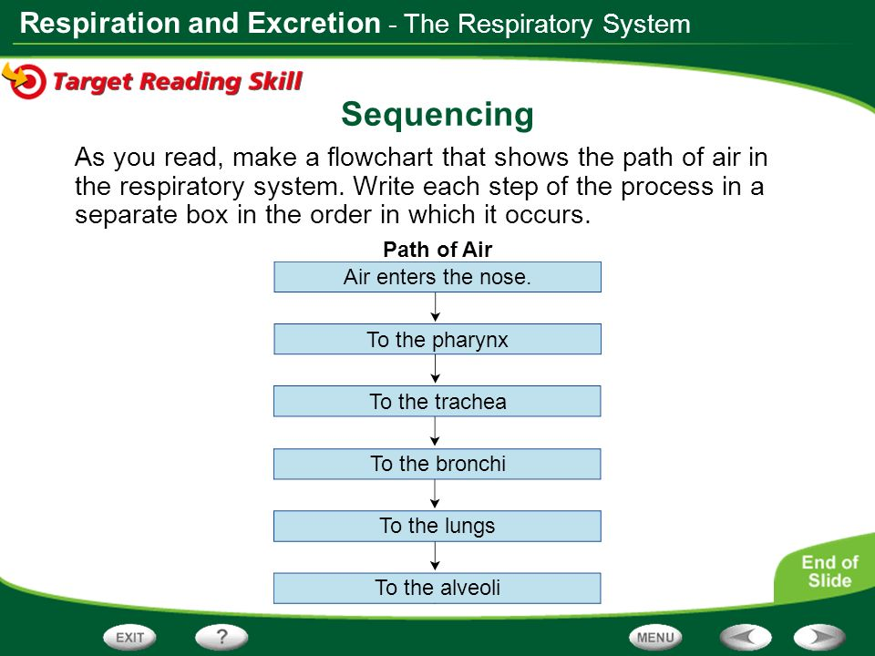 Sequencing - The Respiratory System