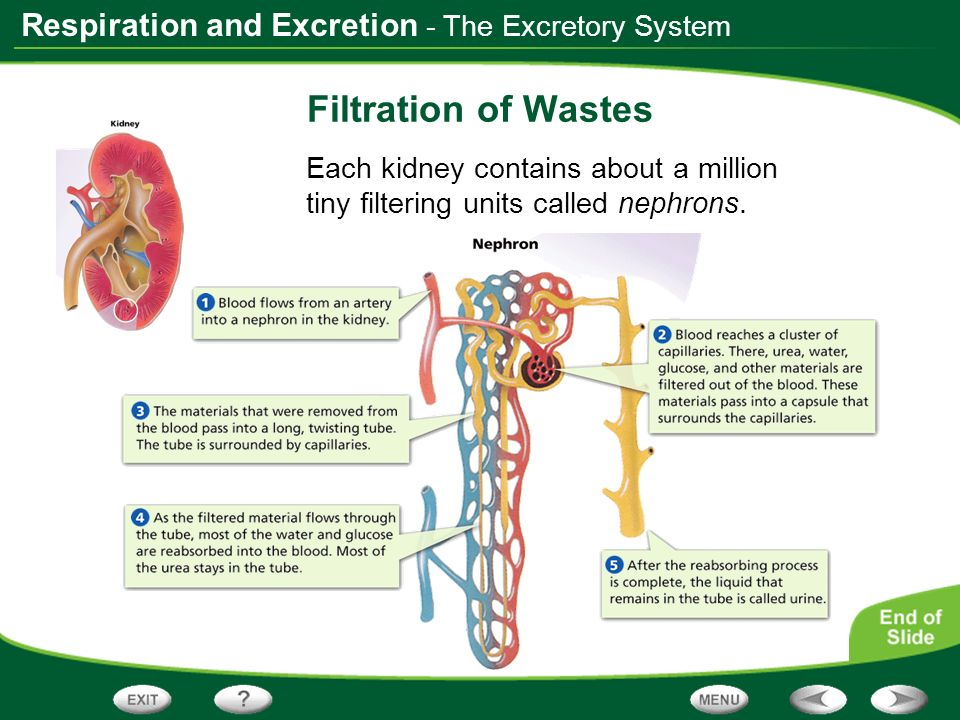 Filtration of Wastes - The Excretory System