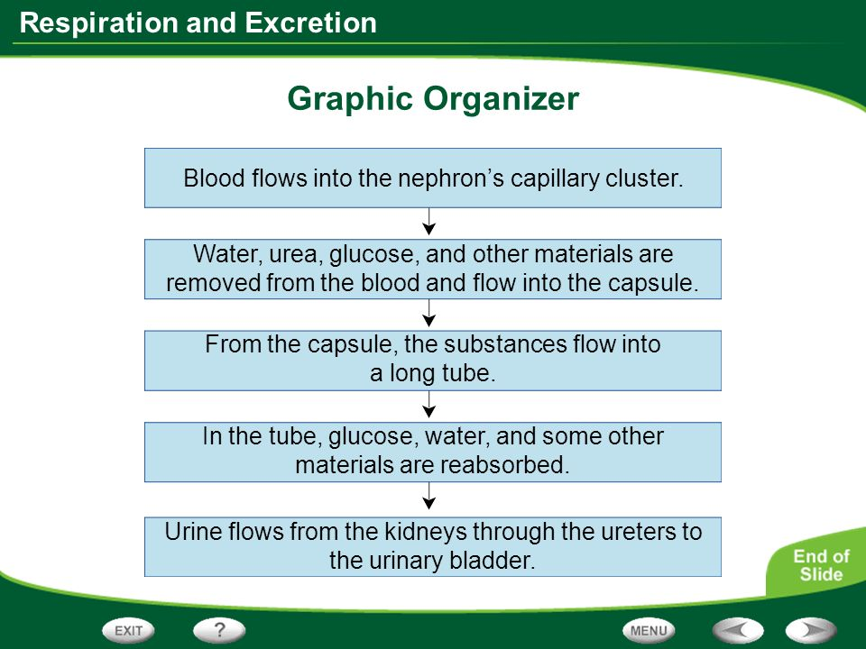 Graphic Organizer Blood flows into the nephron's capillary cluster.