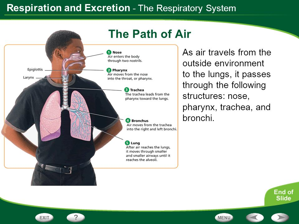 The Path of Air - The Respiratory System