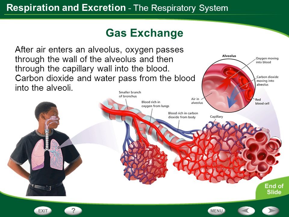 Gas Exchange - The Respiratory System