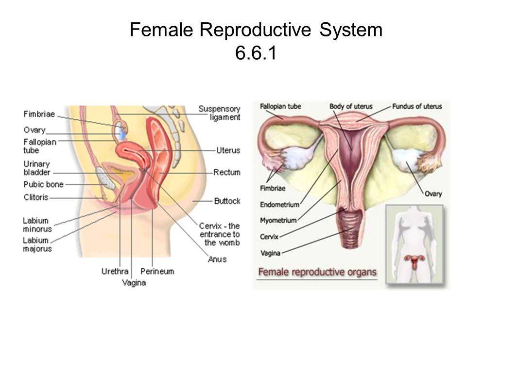 Human Reproduction ppt download  Human Reproduct...