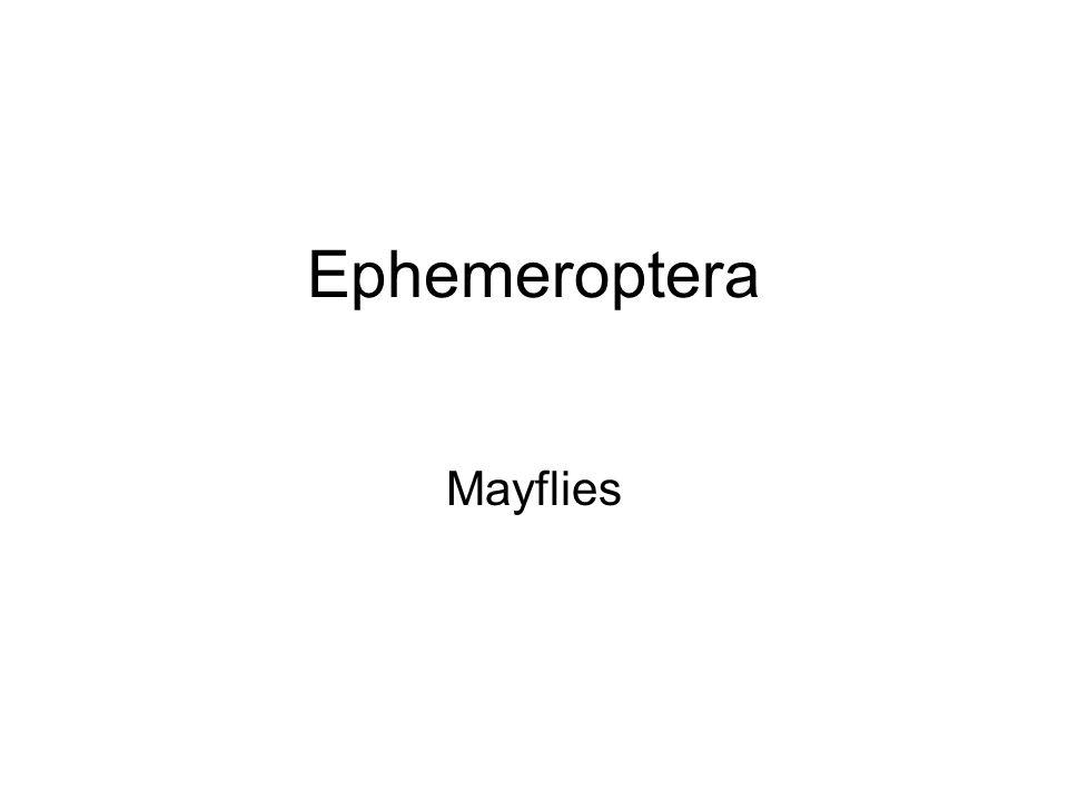 Ephemeroptera Mayflies