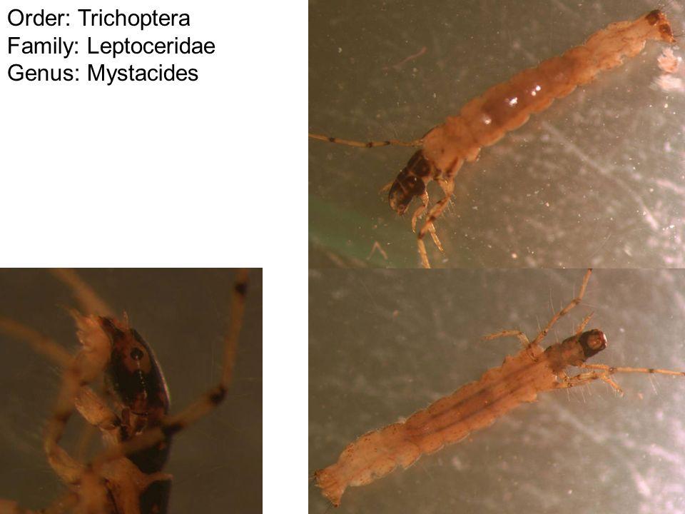 Order: Trichoptera Family: Leptoceridae Genus: Mystacides