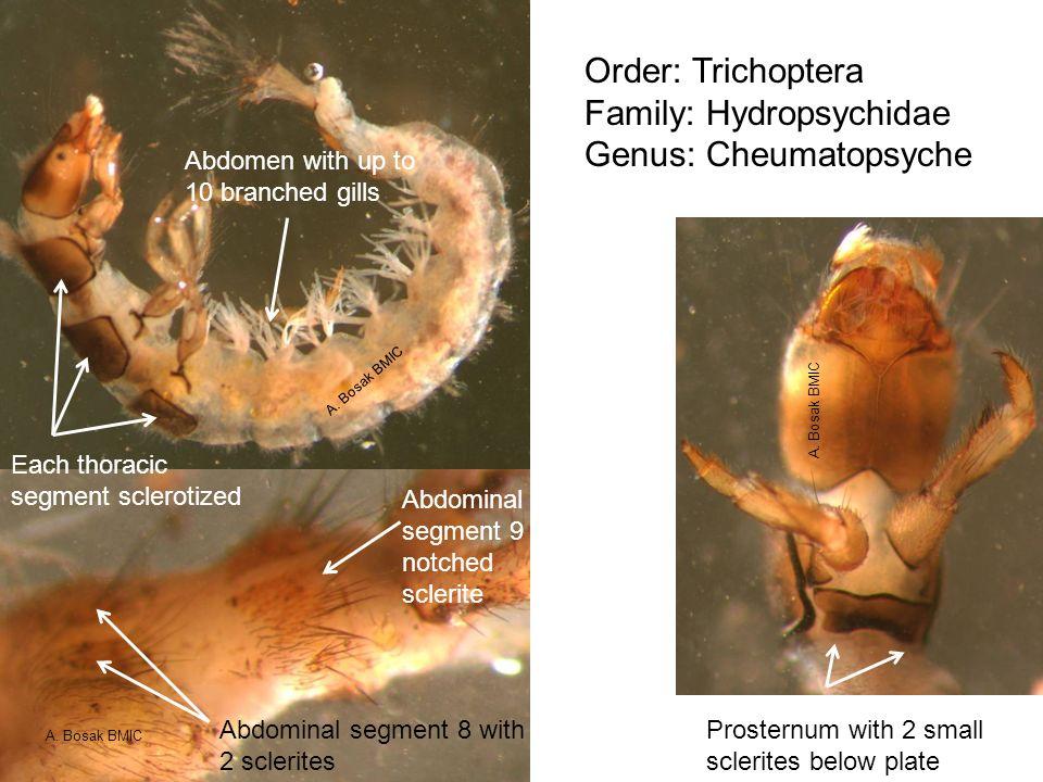 Family: Hydropsychidae Genus: Cheumatopsyche