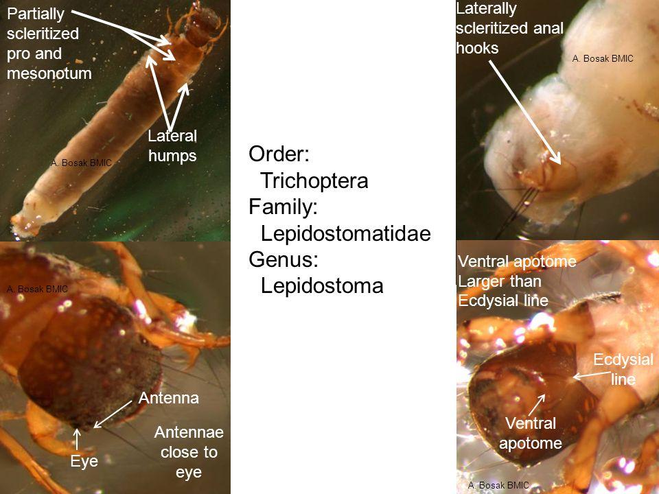 Order: Trichoptera Family: Lepidostomatidae Genus: Lepidostoma