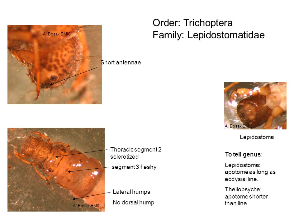 Order: Trichoptera Family: Lepidostomatidae