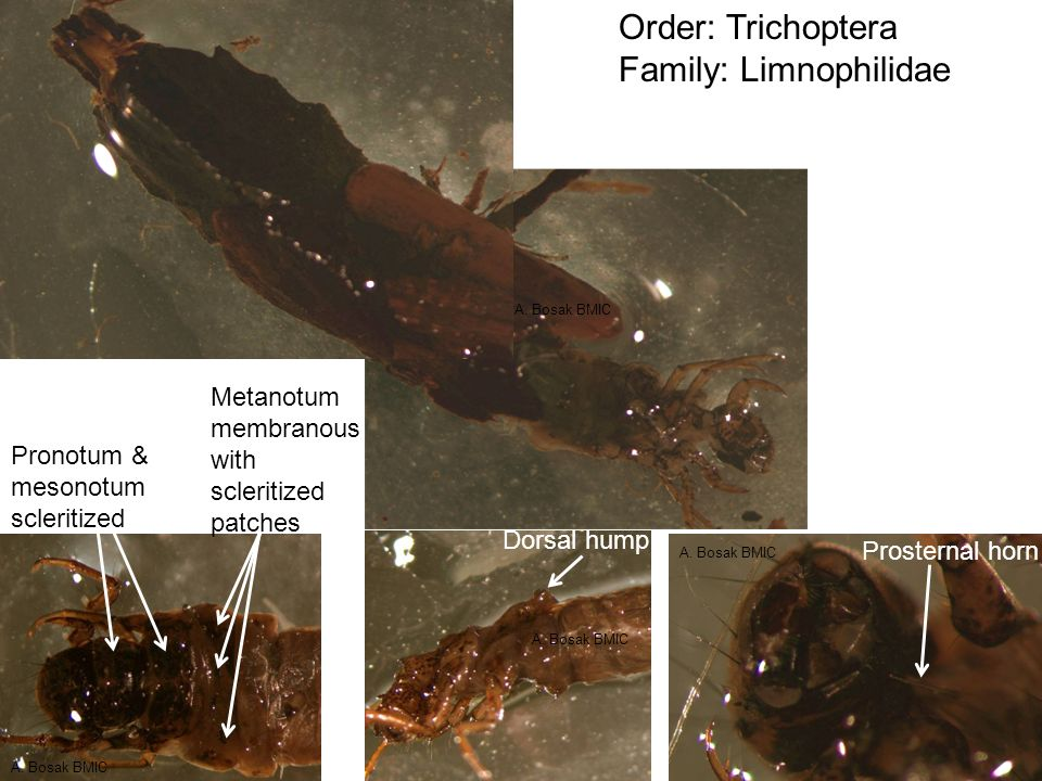 Order: Trichoptera Family: Limnophilidae