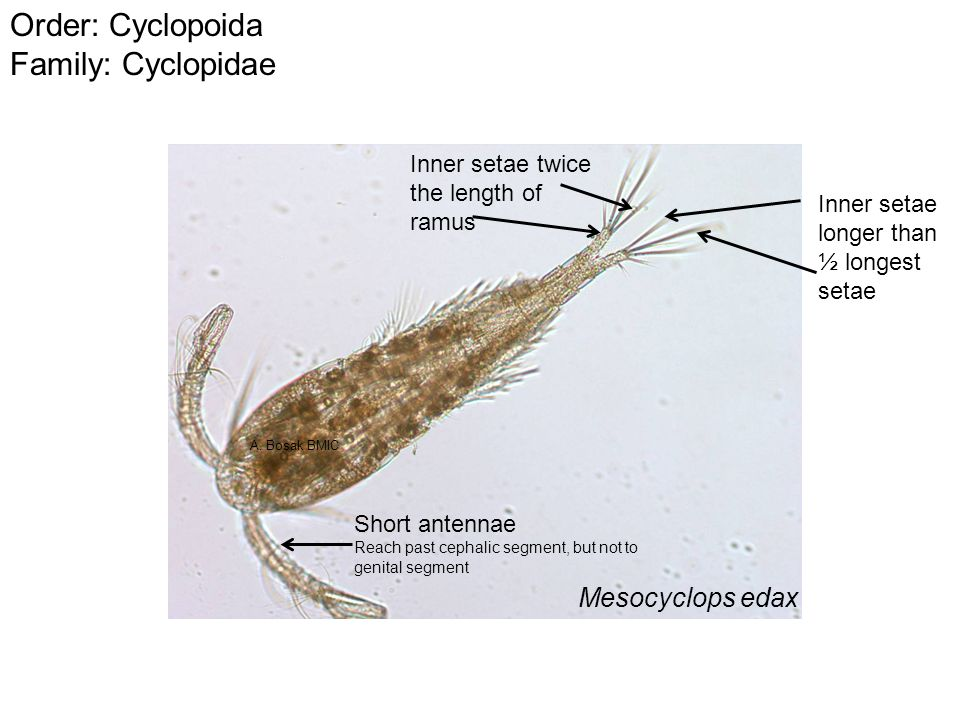 Order: Cyclopoida Family: Cyclopidae