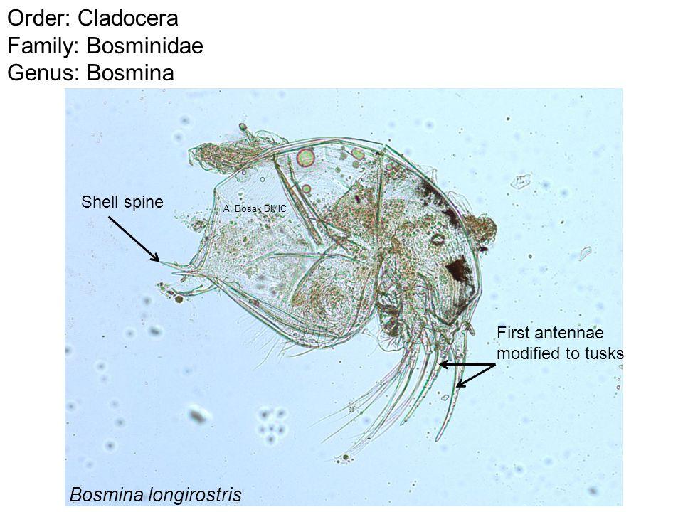 Order: Cladocera Family: Bosminidae Genus: Bosmina