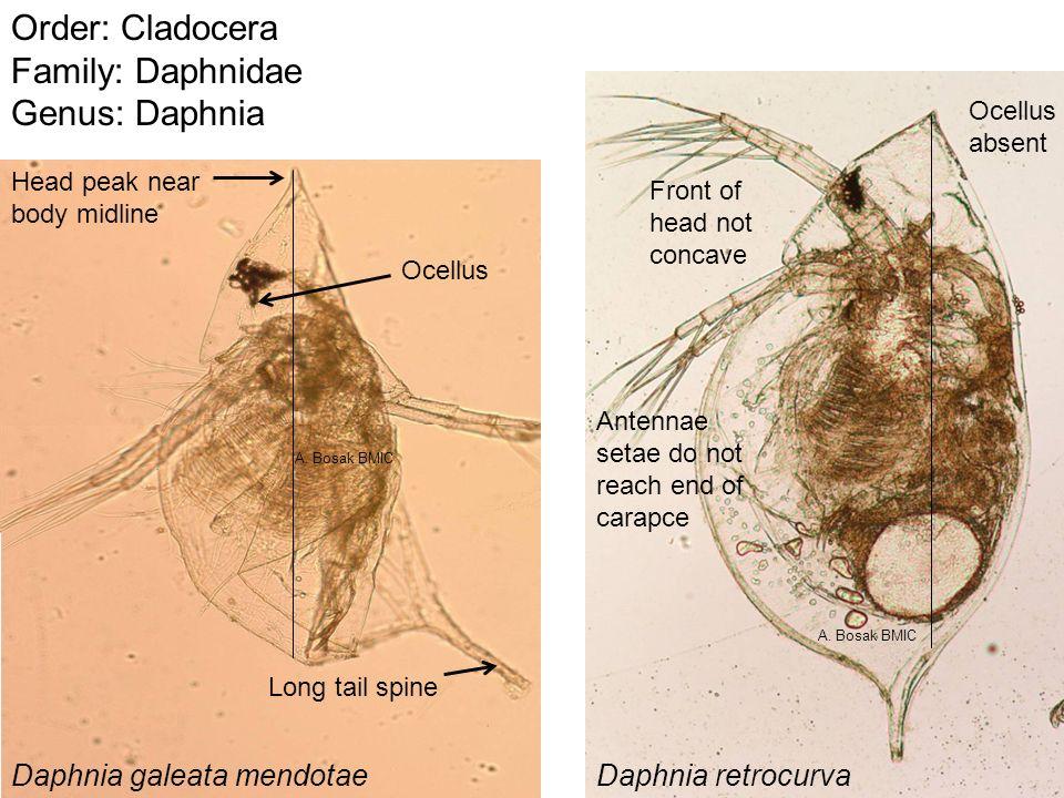 Order: Cladocera Family: Daphnidae Genus: Daphnia