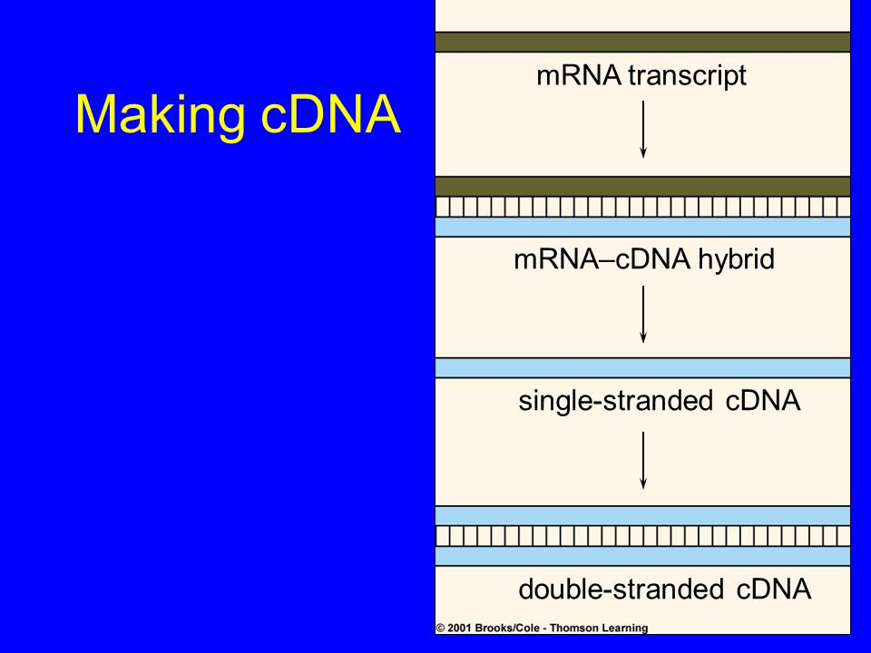 Making cDNA mRNA transcript mRNA–cDNA hybrid single-stranded cDNA