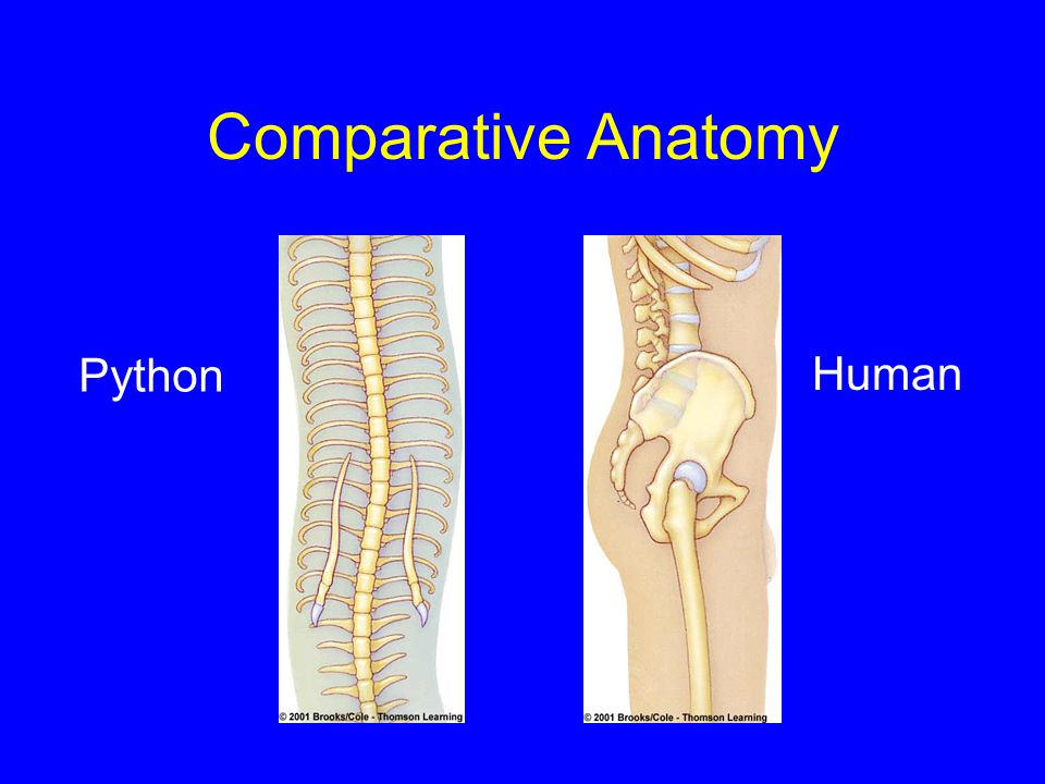Comparative Anatomy Python Human
