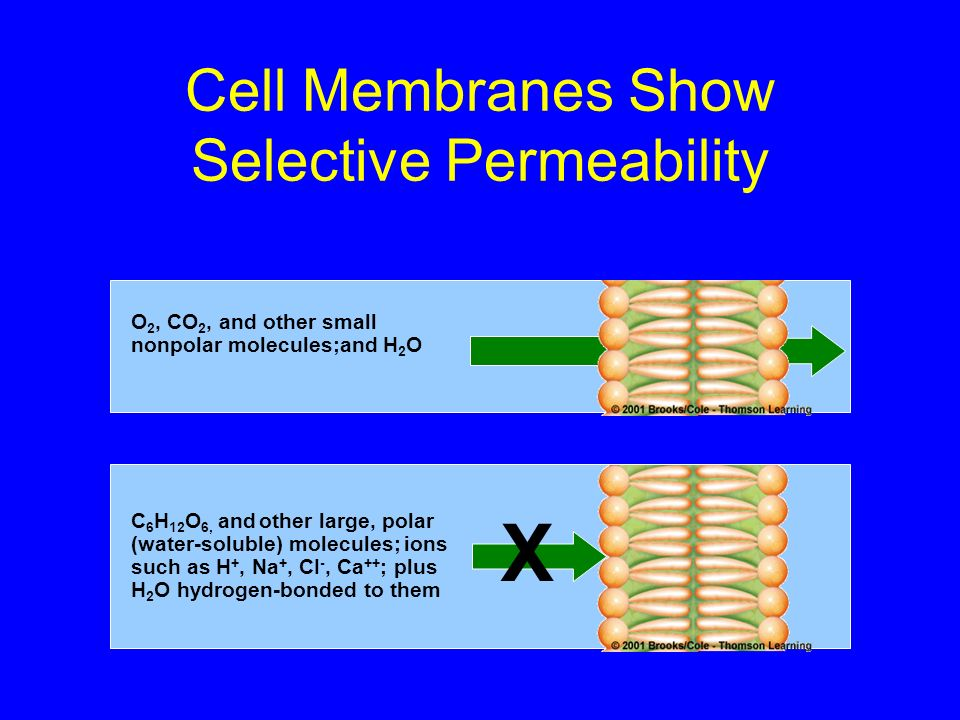 Cell Membranes Show Selective Permeability