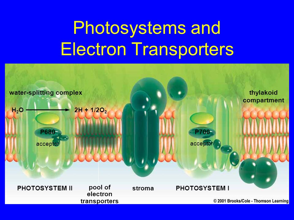 Photosystems and Electron Transporters