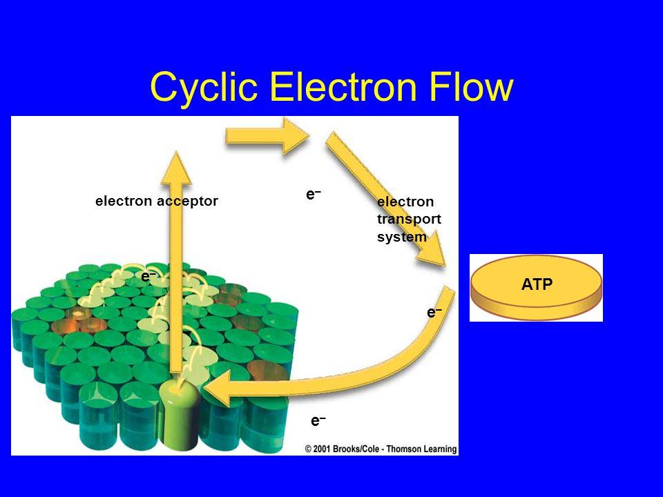 Cyclic Electron Flow e– e– ATP e– e– electron acceptor
