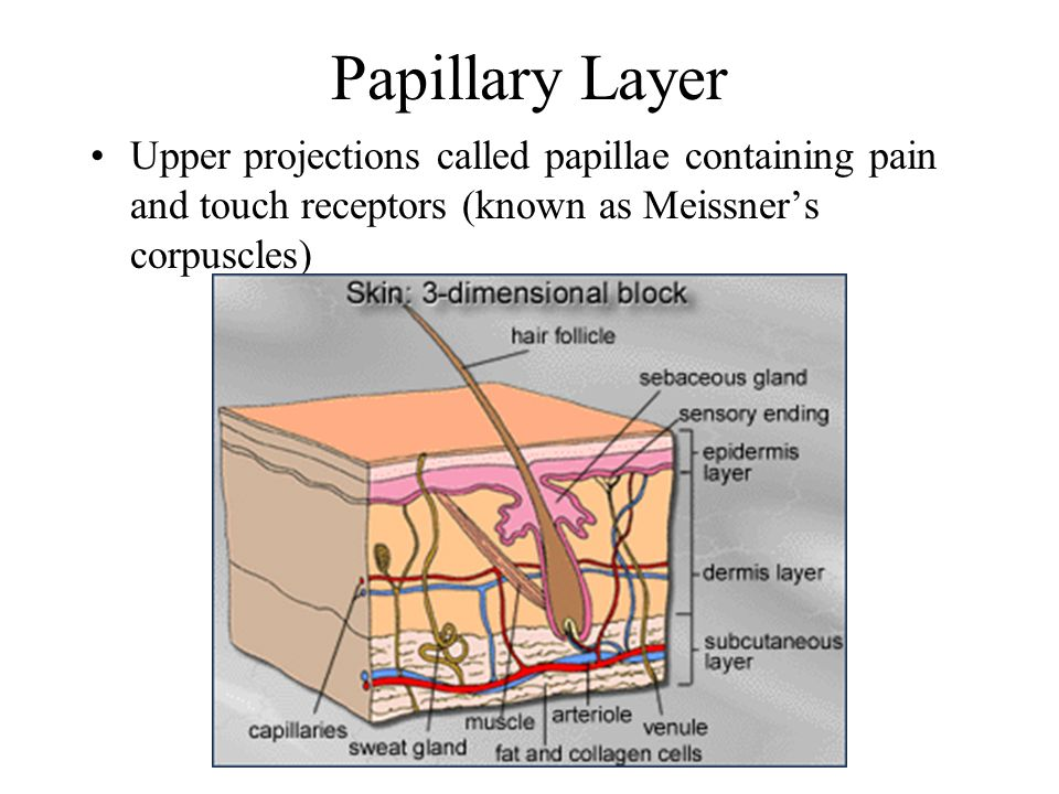 Papillary Layer Upper projections called papillae containing pain and touch receptors (known as Meissner's corpuscles)