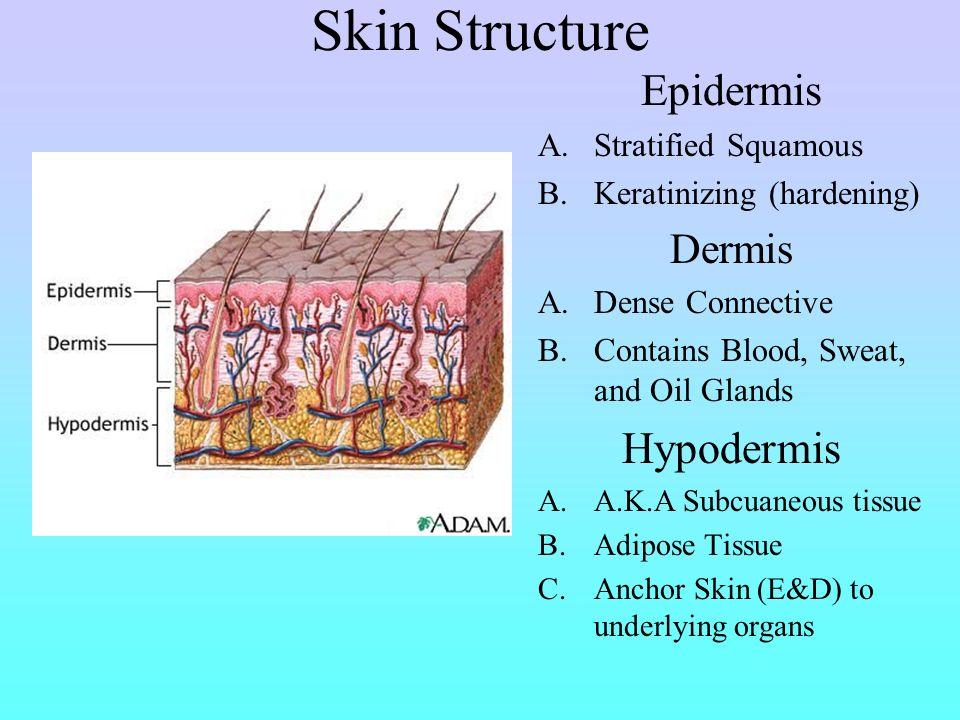 Skin Structure Epidermis Hypodermis Dermis Stratified Squamous