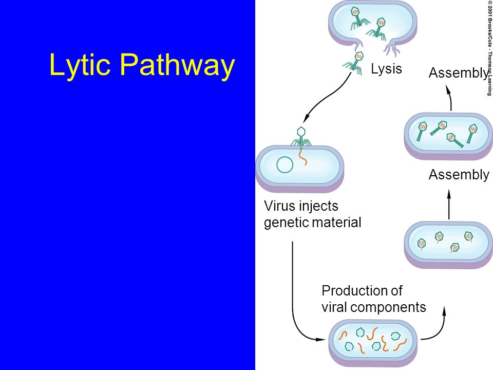 Lytic Pathway Lysis Assembly Assembly Virus injects genetic material