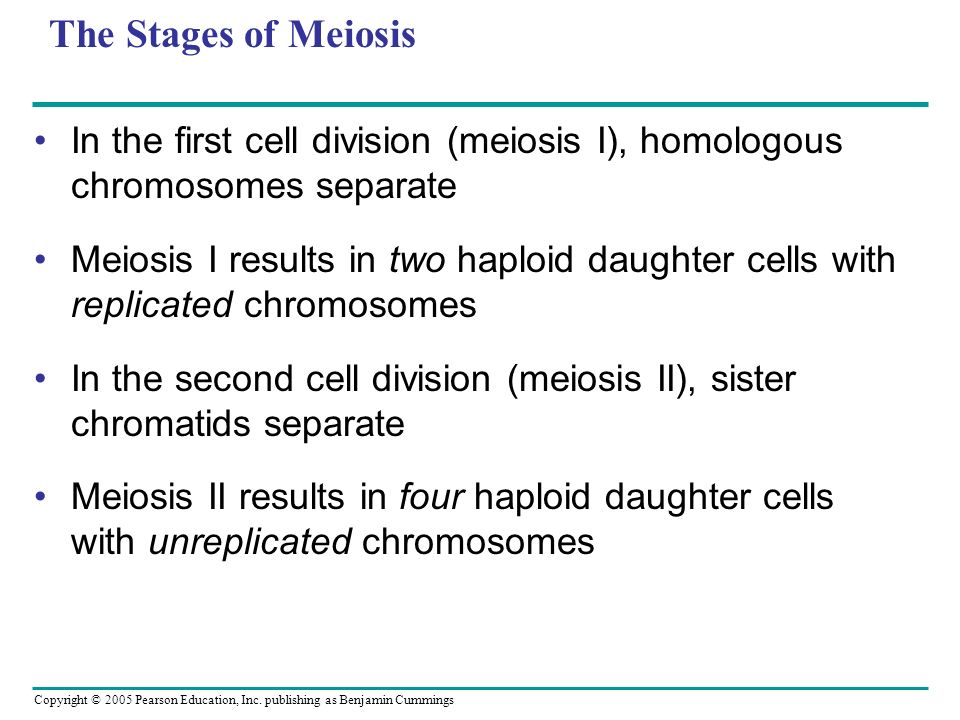 The Stages of Meiosis In the first cell division (meiosis I), homologous chromosomes separate.
