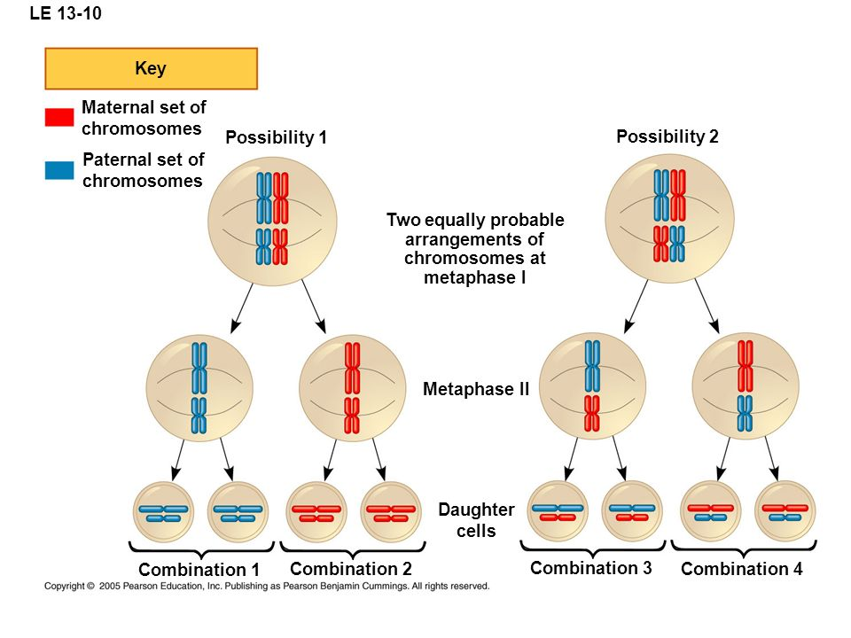 LE Key. Maternal set of. chromosomes. Possibility 1. Possibility 2. Paternal set of. chromosomes.