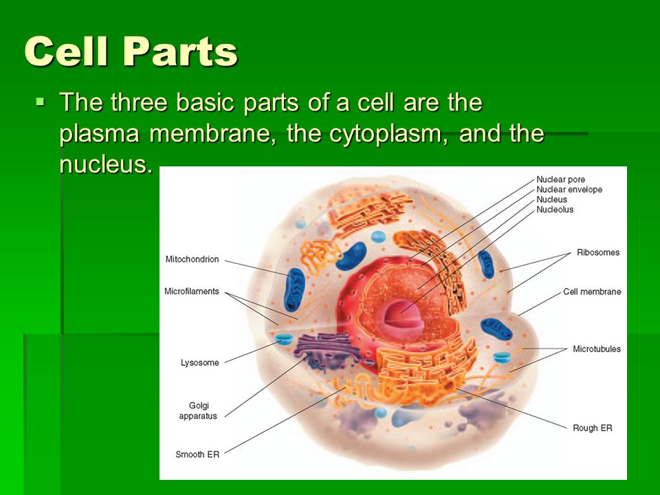 Cell Parts The three basic parts of a cell are the plasma membrane, the cytoplasm, and the nucleus.