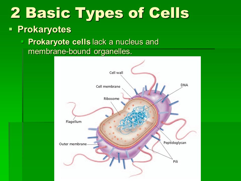 2 Basic Types of Cells Prokaryotes