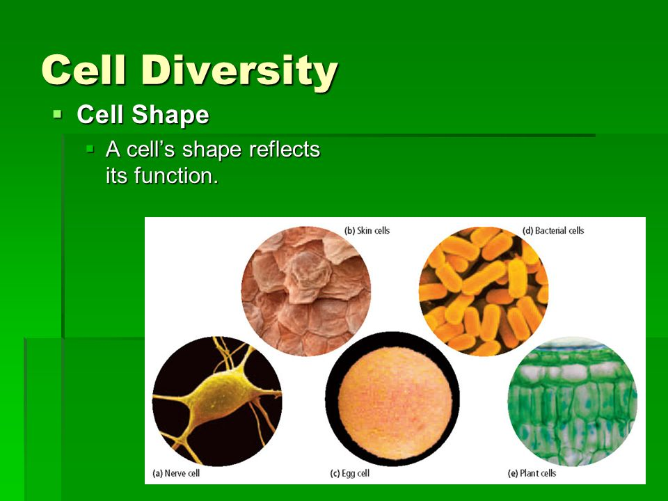 Cell Diversity Cell Shape A cell's shape reflects its function.