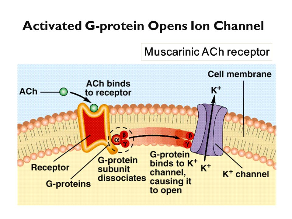 Activated G-protein Opens Ion Channel