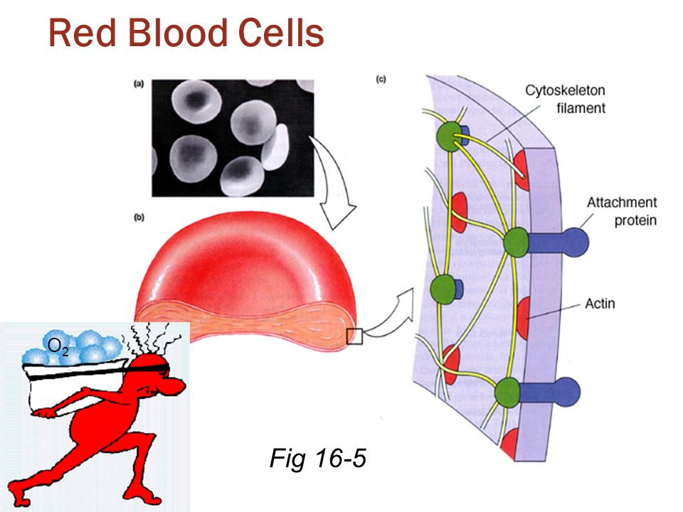 Red Blood Cells O2 Fig 16-5