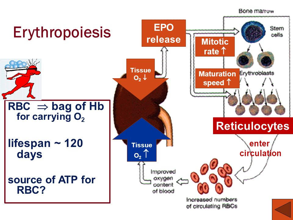 Erythropoiesis lifespan ~ 120 days Reticulocytes