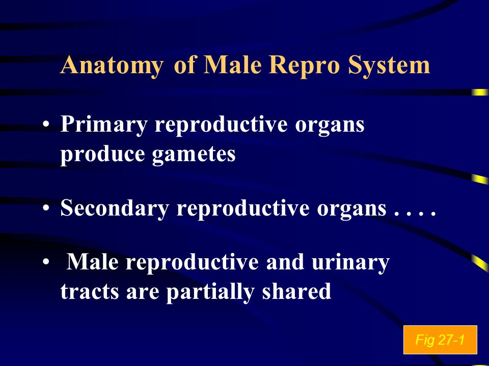 Anatomy of Male Repro System