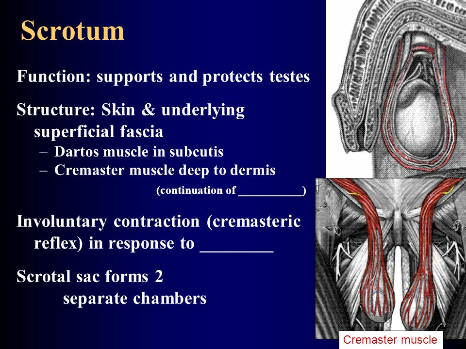 Scrotum Function: supports and protects testes
