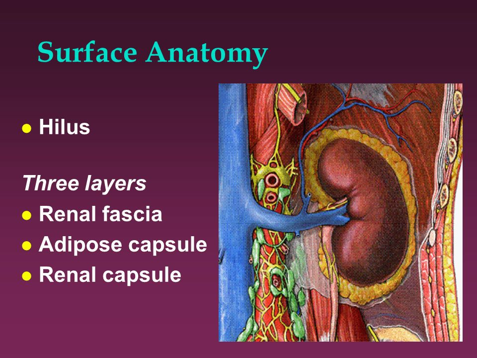 Surface Anatomy Hilus Three layers Renal fascia Adipose capsule