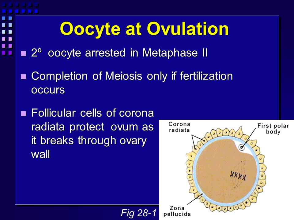 Oocyte at Ovulation 2º oocyte arrested in Metaphase II