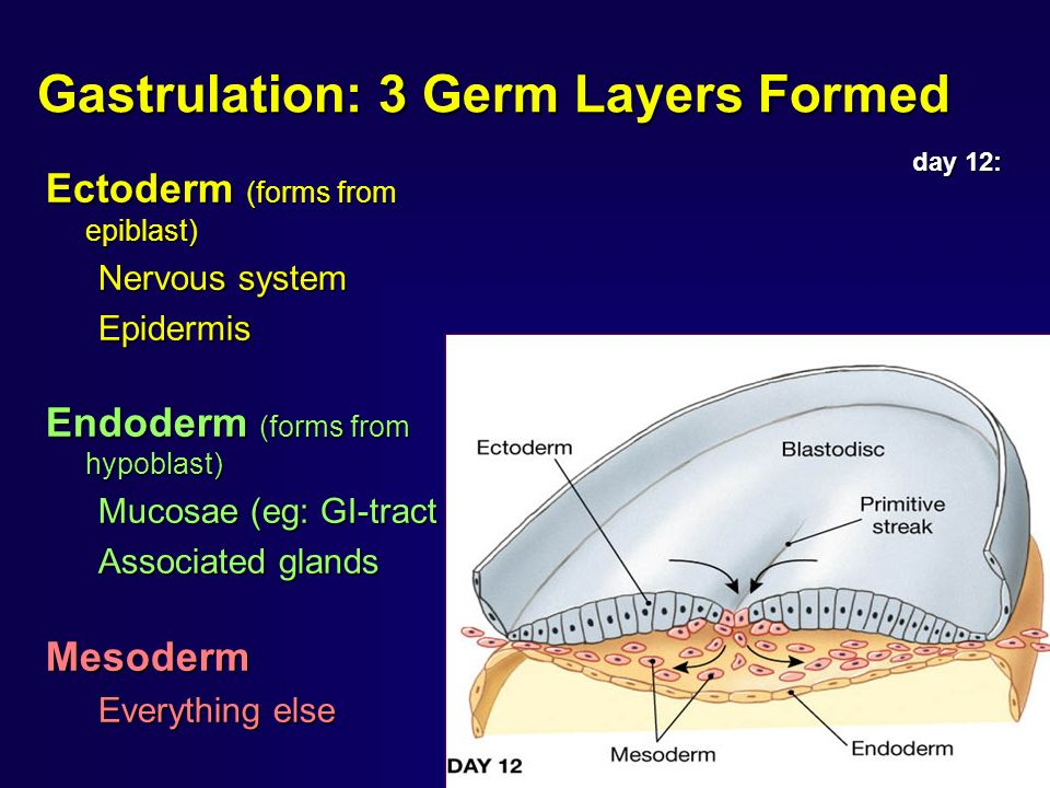 Gastrulation: 3 Germ Layers Formed