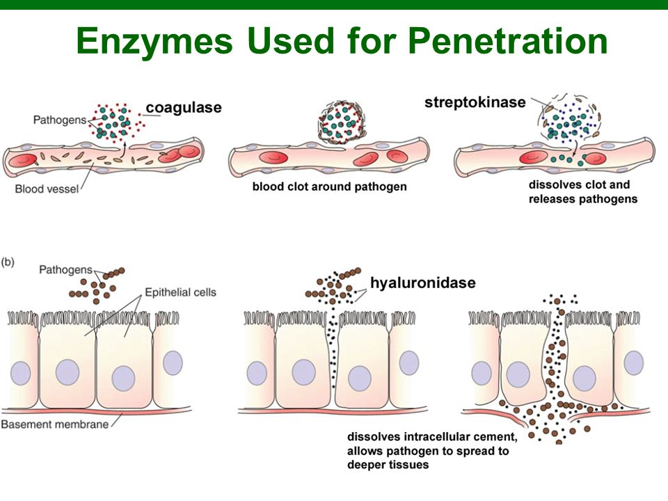 Enzymes Used for Penetration