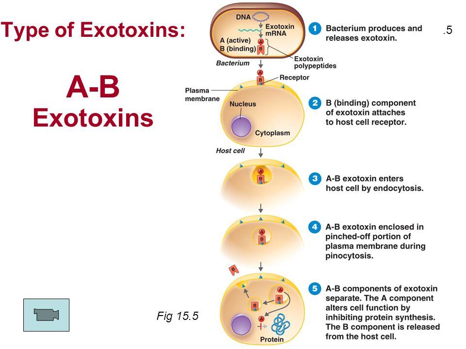 Type of Exotoxins: A-B Exotoxins