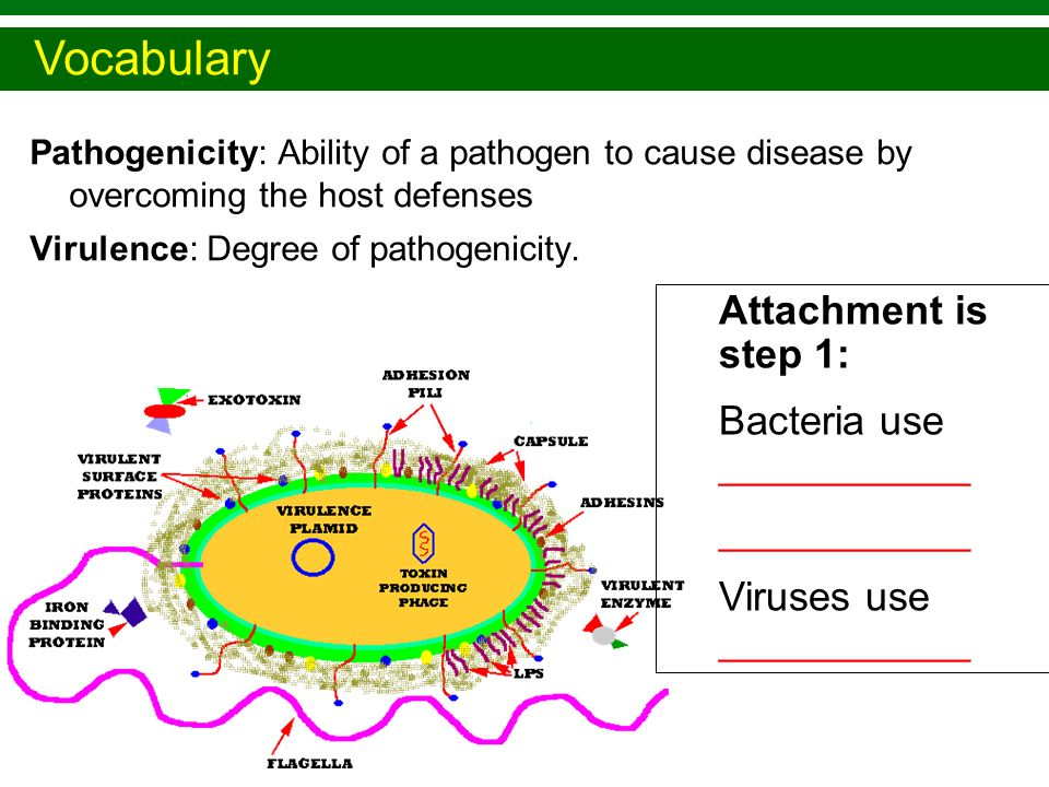 Vocabulary Attachment is step 1: Bacteria use ___________ ___________
